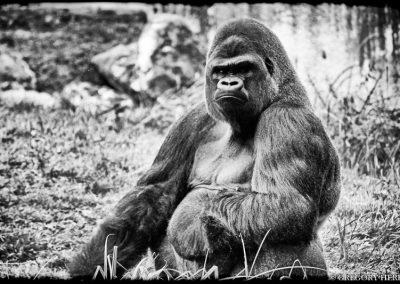 Cameroon Gorilla